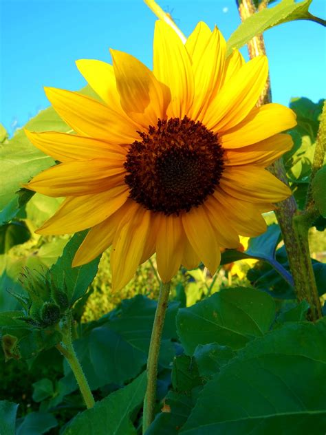 Cricket Song Farm: Native Sunflowers