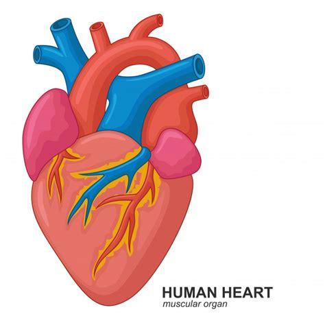 Cœur humain | Télécharger des Vecteurs Premium