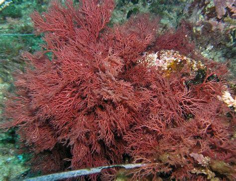 CUADERNO DE CAMPO de El Treparriscos: Flora submarina del ...