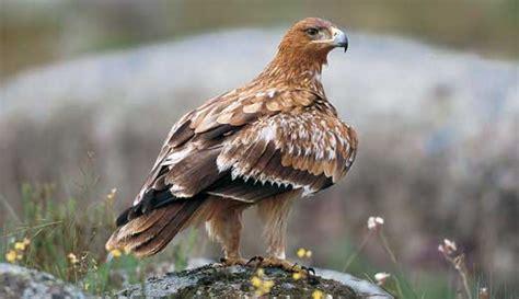 ¿Cuál es el ave nacional de España?   España mi país