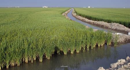 ¿Cuál es el ciclo del cultivo del arroz? – Arrozúa