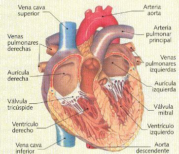 ¿Cuál es el órgano principal del sistema circulatorio ...