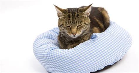 ¿Cuál es la esperanza de vida de los gatos con linfoma?
