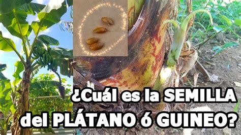 Cual es la semilla del PLATANO o GUINEO?  2019  LA VERDAD ...