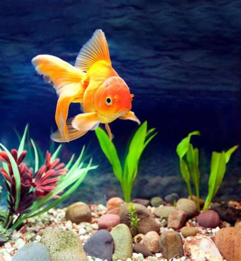 Cuáles son los mejores peces para limpiar mi acuario