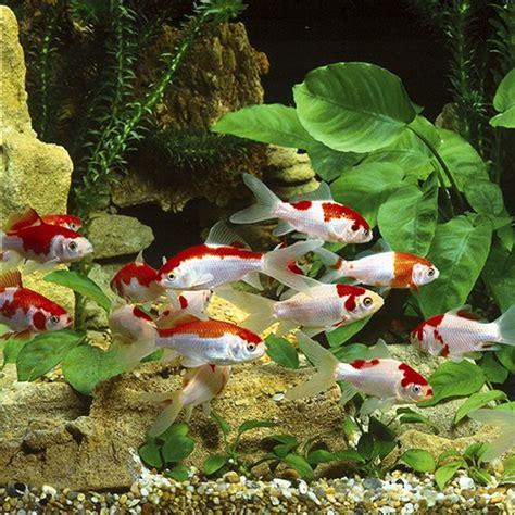 ¿Cuáles son los peces de agua fria?   pecesdeaguafria   Medium