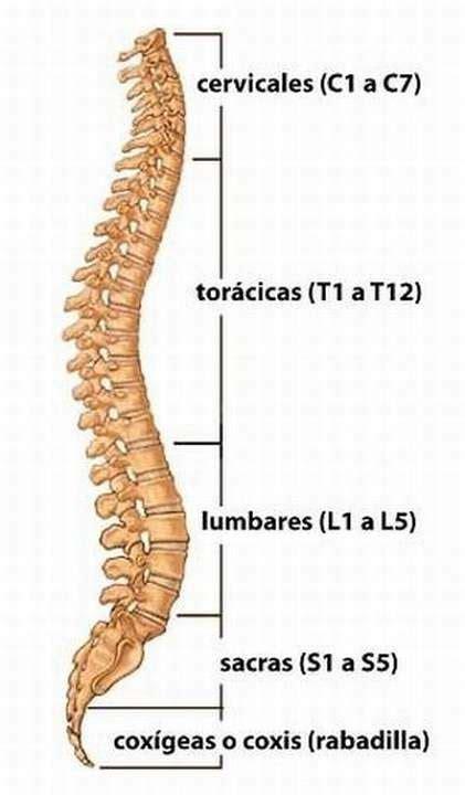 ¿Cuántas vértebras tiene la columna vertebral? ️ ...