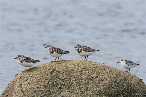 Cuatro Aves Costeras En Una Roca Imagen de archivo ...