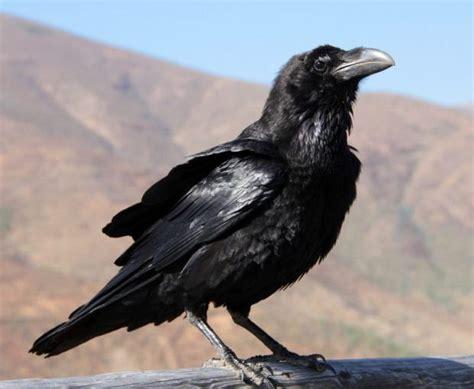 Cuervo canario  Corvus corax canariensis  – El Club Animal