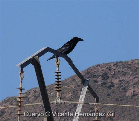 Cuervo  Corvus corax . Familia CORVIDAE   Región de Murcia ...