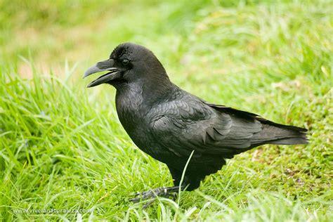 Cuervo   Corvus corax   Vive la Naturaleza