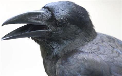 Cuervos: 10 cosas que no sabías y con las que vas a ...