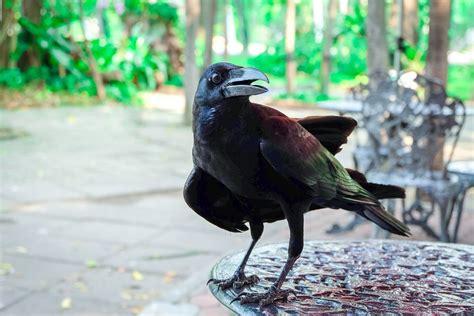 Cuervos   Aves Exóticas