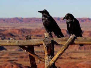 Cuervos   Características, Diversidad, Inteligencia Y ...