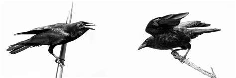 Cuervos de la Isla Española
