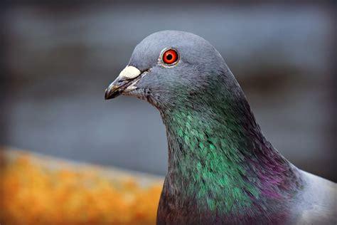 Cuervos o palomas: ¿Quién es una paloma?  Cuarta parte