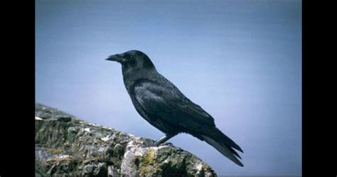 Cuervos: tan inteligentes como los humanos   National ...