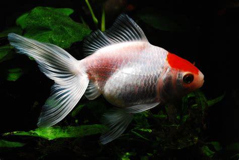 Cuestión de Peces   Peces de agua fría para tu acuario
