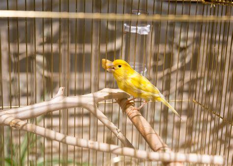 Cuidado de los pichones de canarios   Tiendanimal