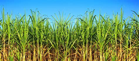 Cuidado de malezas en el cultivo de caña de azúcar   Casafe