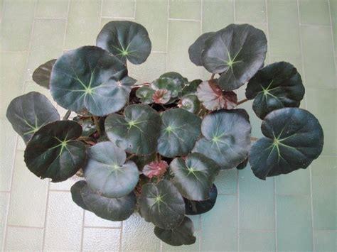 Cuidados de la planta Begonia Erythrophylla, conocida ...