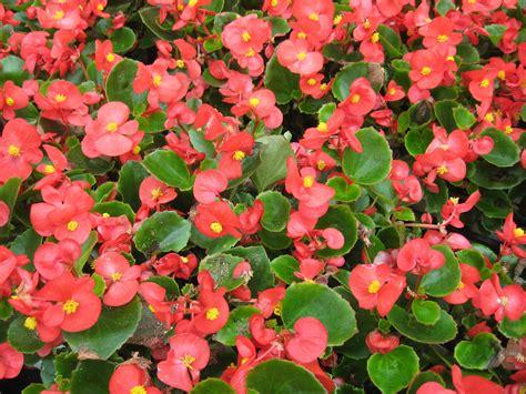 Cuidados de las begonias de flor   Trucos y consejos para ...