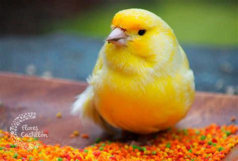Cuidados de los canarios   Flores Castillon