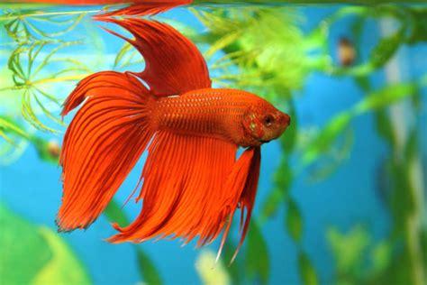 Cuidados de los peces domésticos de agua fría   Consejos ...