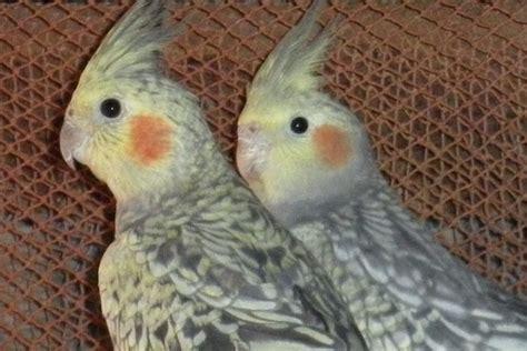 Cuidar las aves ninfa | Ninfas como mascotas