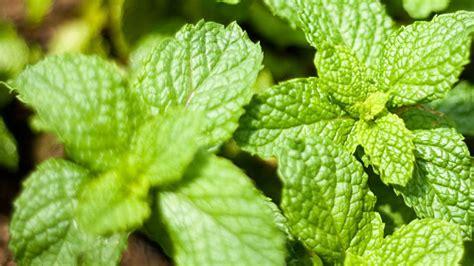 Cultivando hierbas y plantas aromáticas en casa – AGREQUIMA
