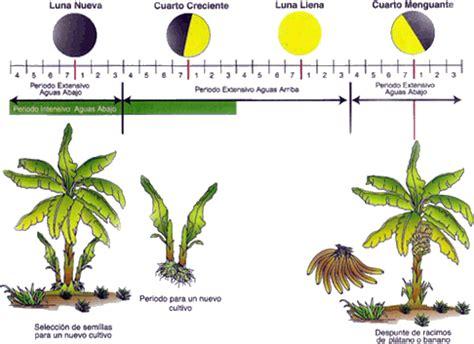 Cultivo de plátano o banano   Jardines, Semillas, Huerto ...