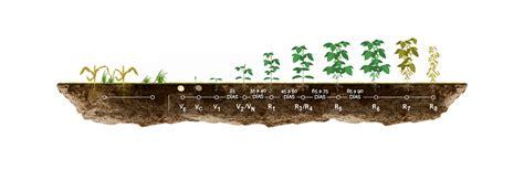 Cultivo de Soja   Agrofértil S.A.