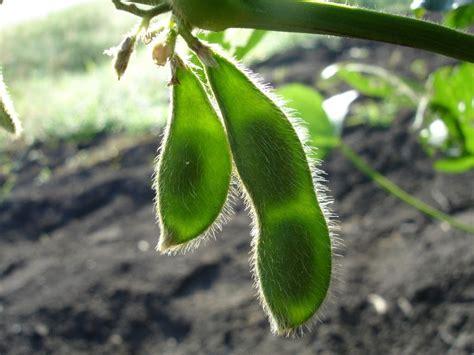 Cultivo de soja: los secretos de la semilla sagrada ...