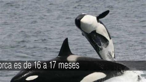 Curiosidades sobre las orcas   YouTube