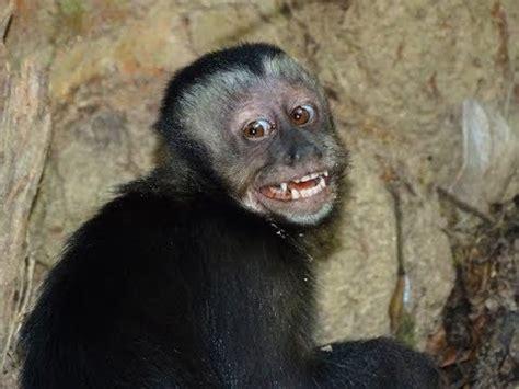 Cute Monkeys Part #74   Black cap Capuchin monkey Feeding ...
