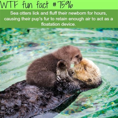 Cute sea otters   WTF fun facts   Interesting facts   Baby ...