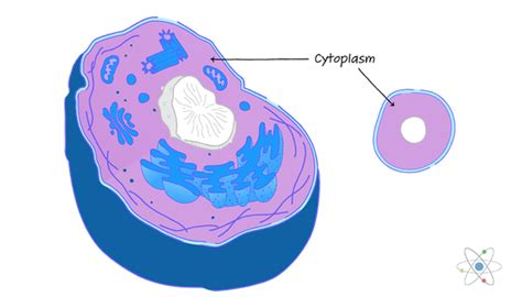 Cytoplasm: Definition, Structure & Function  with Diagram ...