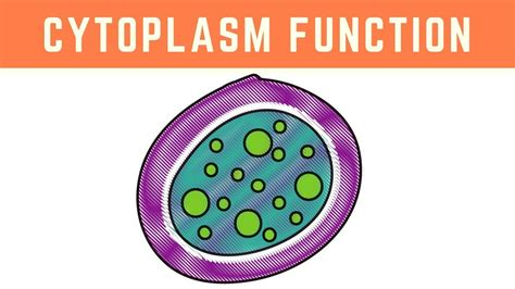 Cytoplasm Function   More than just the clear liquid of ...