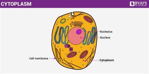 Cytoplasm   The Structure and Function of Cell s Cytoplasm