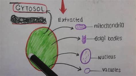 Cytoplasm vs Cytosol.   YouTube