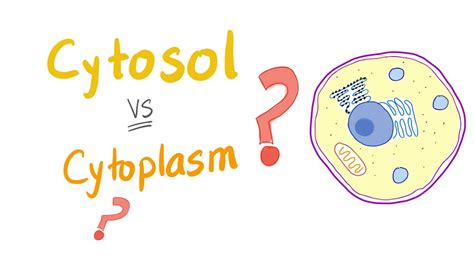 Cytosol vs cytoplasm; What's The Difference?   YouTube
