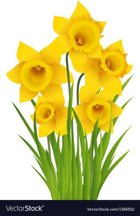 Daffodil Royalty Free Vector Image   VectorStock
