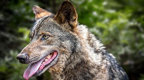 ¡Damos la bienvenida al lobo ibérico Gordo! | Zoo Barcelona