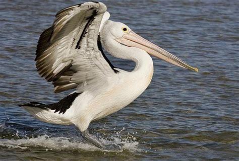 Daniel Pedroso: Sou um Pelicano no Deserto....