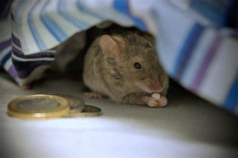 ¿De dónde surge la curiosa historia del ratón de los ...