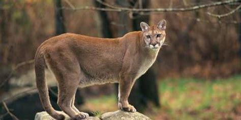 Declaran oficialmente extinto una especie de puma en EEUU