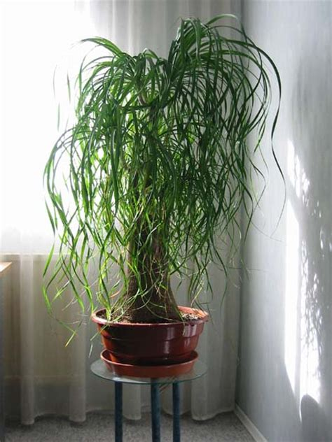 Decorazione della casa » piante da interno sempreverdi