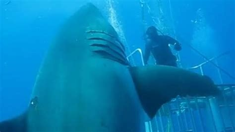 Deep Blue: World's largest great white shark ever caught ...