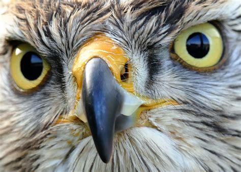 Depredadores aéreos de las aves de corral   Aves de corral