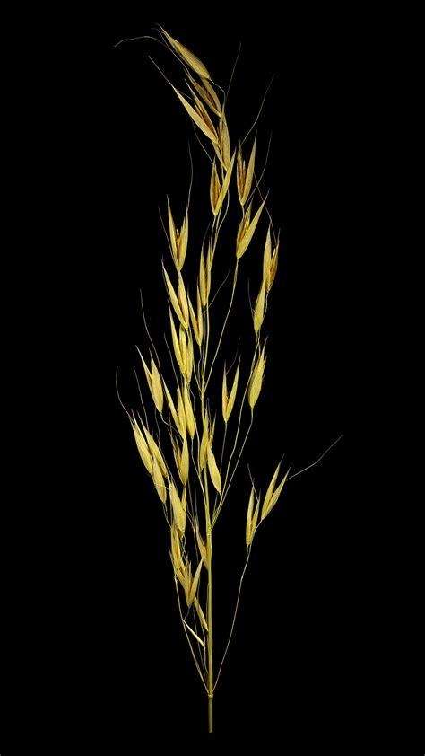 Der Flug Hafer: Avena fatua | Flora obscura